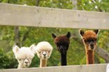 STERNFELS FAMILY PHOTOGRAPHY_alpacas
